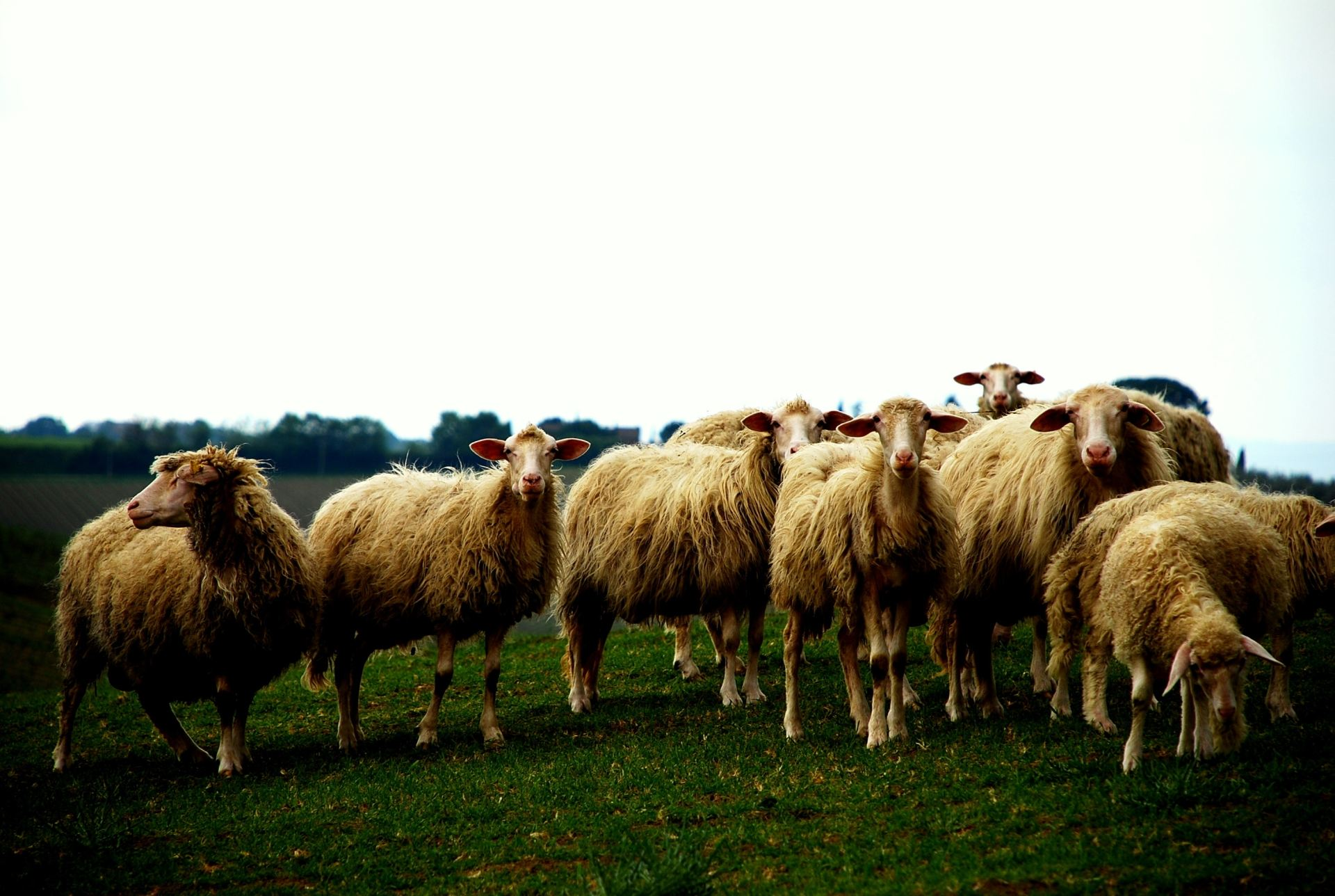 Beaux moutons