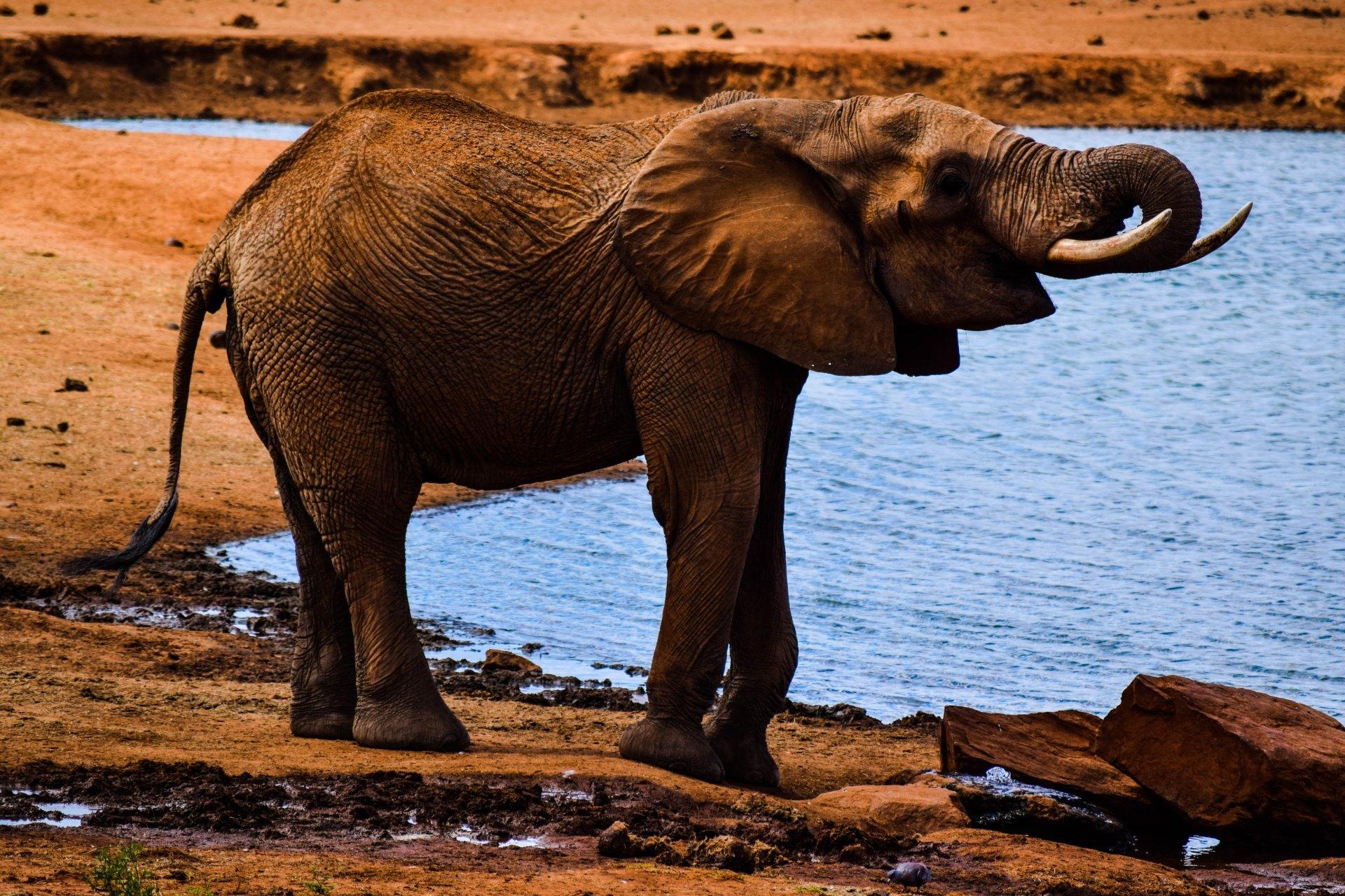Elephant buvant eau